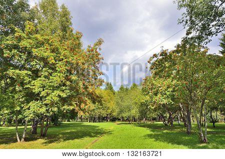 Path through rowan berry trees in a public park - bright autumn landscape.