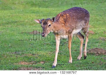 Fallow - fallow deer. (Dama dama ) Beautiful natural background with animals. Sunset.