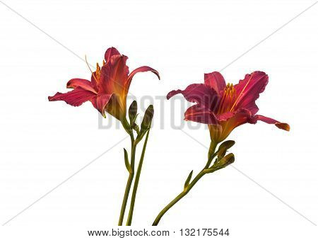 Purple miniature hemerocallis (daylily) on a white background isolation