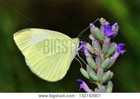 Pieris rapae is a butterfly on a plant with lavender flower