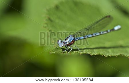 A close up of a Damsel Fly with water mites