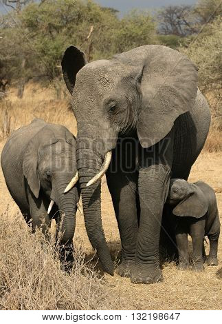 A mother African Elephant and two elephant babies from two different years