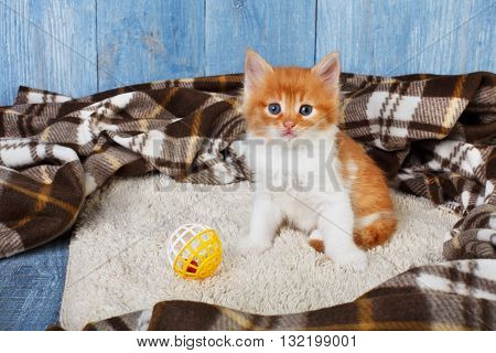 Ginger kitten with white chest. Long haired red orange kitten sit at brown plaid blanket. Sweet adorable kitten on a serenity blue wood background. Small cat with toy ball. Funny kitten