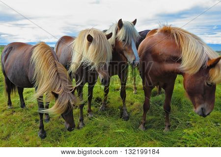 Four Icelandic horses on the shore of the fjord. Beautiful horse light gray suit with white manes on free ranging
