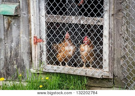 brown hens observing in chicken coop close up