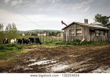 dramatic farm scenic landscape with cows and chicken coop