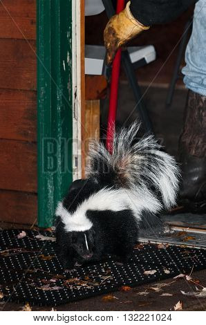 Striped Skunk (Mephitis mephitis) Gets Swept Out Door - captive animal