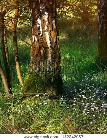 A beautifull birch tree in the wood in the evening sun with romantic grass and small blue flowers.