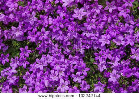 Closeup Of Vibrant Lilac Blossoms.