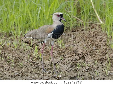 Southern Lapwing Foraging On A River Bank - Panama