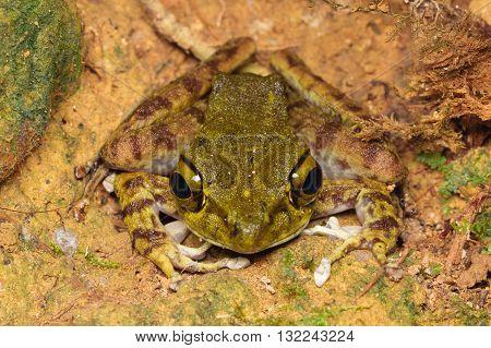 Kinabalu Torrent Frog (Meristogenys kinabaluensis) from Kinabalu National Park