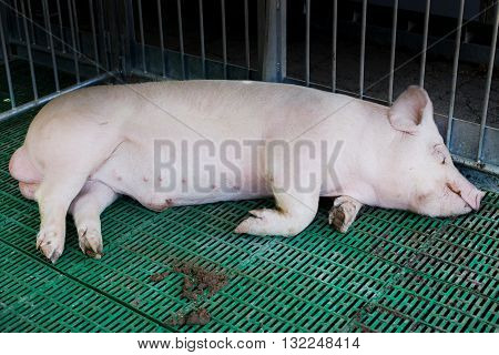 Domestic Boar Sleeping In Pigpen
