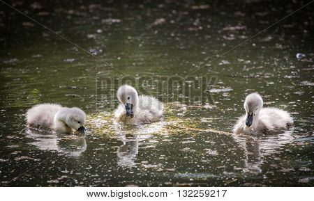 Three cygnets on lake eating water plant