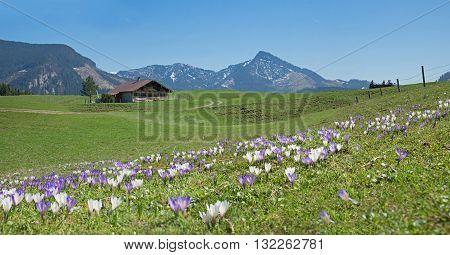 Bavarian Springtime Landscape With Alpine Cabin And Crocus Flowers
