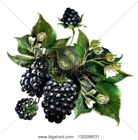 Blackberries on a drips of watercolor background watercolor painting