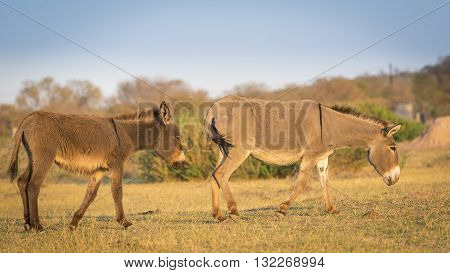Donkey In Africa