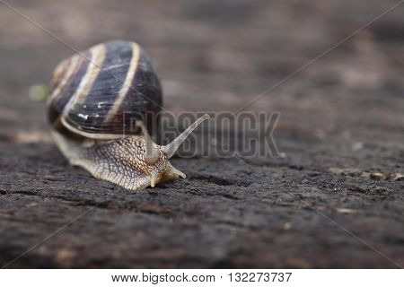 Helix pomatia, common names the Burgundy snail, Roman snail, edible snail or escargot