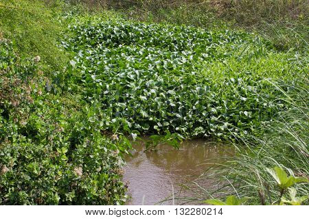 Eichornia crassipes in dirty river, India, Andaman islands. Water hyacinth