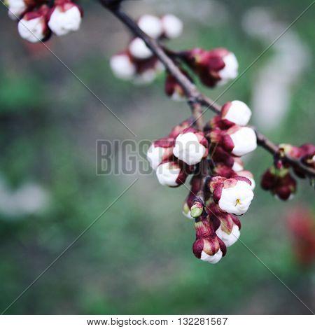 White Plum Buds. Blooming. Spring Season.