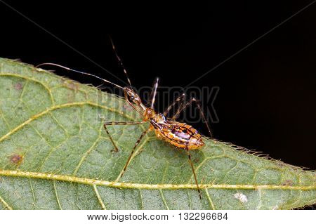 Assassin Bug from Kinabalu National Park, Borneo.