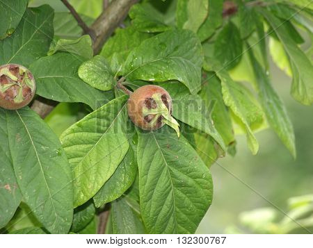 medlar fruit on a tree in early autumn