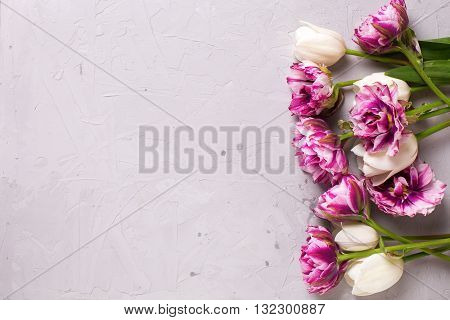 Bright violet and white tulips flowers on grey textured background. Selective focus. Place for text. Flat lay still life.