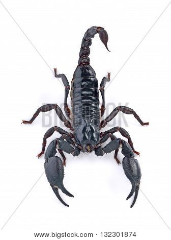 Scorpion on white background animal insect black