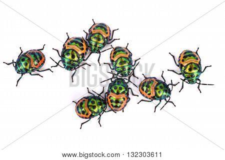 Litchi Bug Tong Taek Bug Chrysocoris stollii on white background