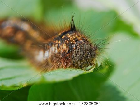 The larva of lasiocampidae herbal (Drinker Euthrix potatoria)