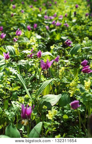 Erythronium sibīricum in spring forest. Purple flowers.