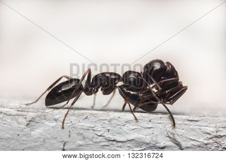 Close up macro black ant carrying a wounded friend