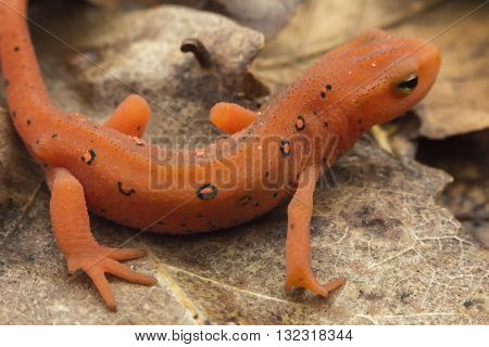 Close up macro red spotted newt in its forest habitat