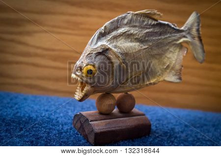 Dried preserved piranha fish trophy on blue surface
