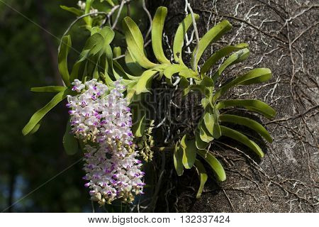 the orchid species of thailand Aerides houlettiana Rchb. f.