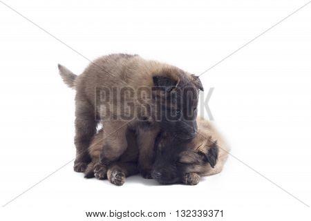 Two puppy's Belgian Shepherd Tervuren isolated on white background