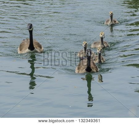 A family of Canada Goose, parents and goslings, Branta Canadensis, swimming on a lake.