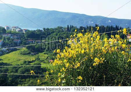 Montenegrin landscape with bush blossoming Spanish broom