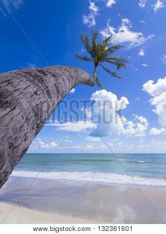 Coconut Palm tree on the white sandy beach,Samui Island Thailand.