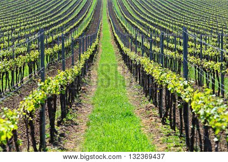 Green vineyards lines, sunny summer day on vineyards