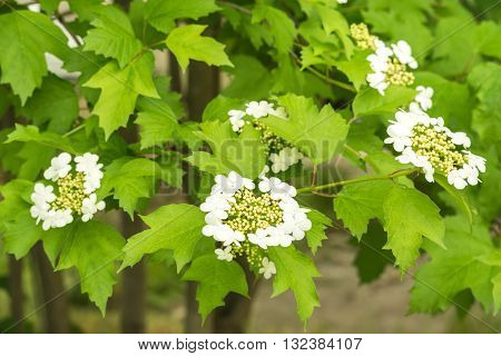 The flowers of viburnum.  In the second half of May in Ukraine massively blooming viburnum shrubs.