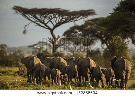 Large group of elephants walking at Amboseli plains. Large group of elephants walking. It's a rear view. The photo had been taken in Amboseli Kenya. Back of elephants can seen. White birds are around. Green trees are at background.