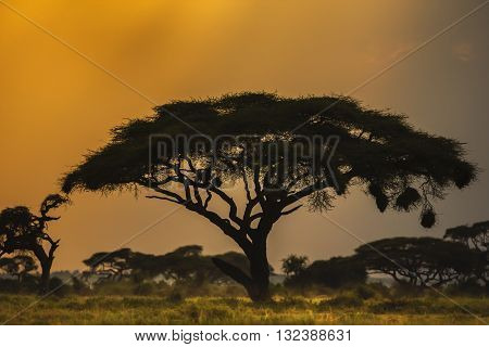 Landscape at sunset in Kenya Africa,Alone tree at sunset in Kenya. The photograph has been taken in Masai Mara National Reserve Kenya. It's sunset time. Trees at african savanna. There is a big tree in the foreground. Group of trees at background.