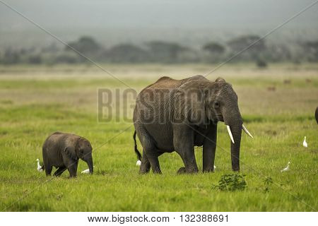Mother and baby elephant are walking on plains. Mother and baby elephant are walking in a single line. Baby elephant is walking behind the mother. It's a side view. It's daytime. The photo had been taken in Amboseli Kenya.