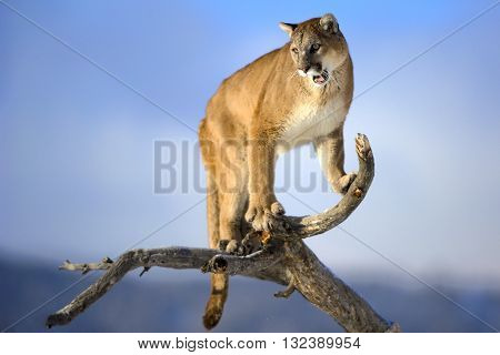 Mountain lion is standing on deadwood and roaring. The male mountain lion is standing on the dead wood. Mountain lion is roaring. He has green eyes. The mountain lion in the middle of the frame.