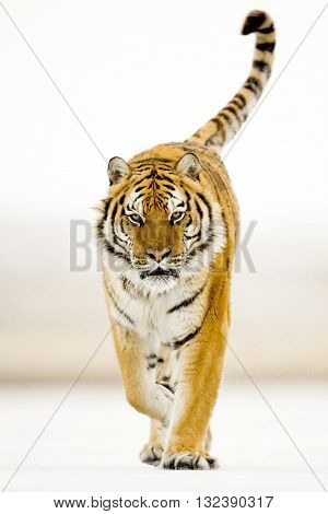 Amur tiger walking proudly on the white snow. Amur tiger walking with catwalk style. Looking through the camera directly. Background is full white. Amur tiger walking on the snow. Amur tigers have stripes and are a shade of orange in color.