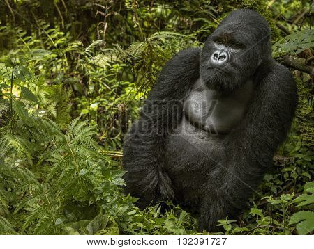 Mountain gorilla is sitting and eating leaves. The mountain gorilla sitting in the middle of leaves. The silverback. His hands are both side. There are green leaves covering his body. Face and shoulders of silverback is clear.