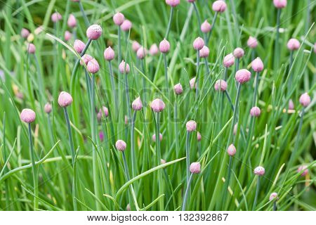 Chives flowers shown here in the garden are almost ready to bloom.