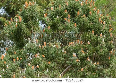 Big Acorn Banksia tree (Banksia prionotes) full of inflorescence flower spikes in white yellow orange color with serrated leaves grown in Southwest Australia