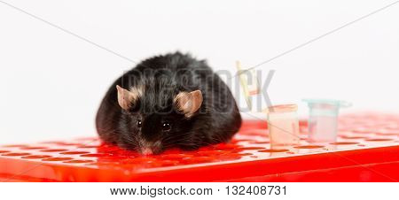 laboratory obese mice induced by junk food