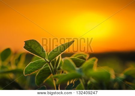 Soybean plants in sunset soy bean rows in agricultural field selective focus
